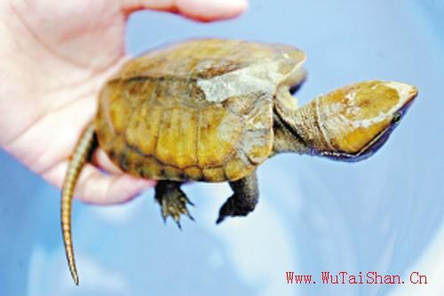 """珠江""""漂""""来国家重点保护动物鹰嘴龟"""